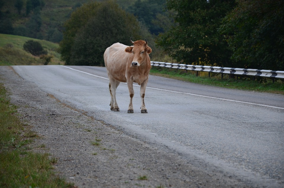 cow on the road.jpg